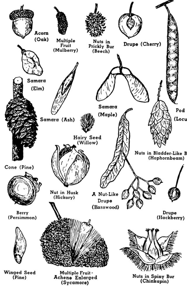 Learn the Basics of Tree Structure: Parts of a Tree, Use the Flower, Cone and Fruit  to Identify a Tree