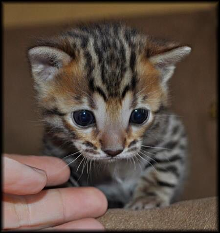Available Bengal Kittens For Sale - BoydsBengals