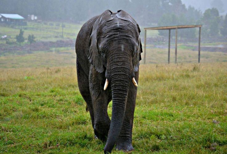Elephant, one of the most beautiful, graceful animals on earth. Taken at the Elephant Sanctuary in Plettenberg bay, South Africa.