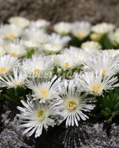 Szép, összefüggő szőnyeget alkotó, örökzöld évelő. Csillogó, fényes, fehér virágai igazán dekoratívak. Sziklakertekbe,...