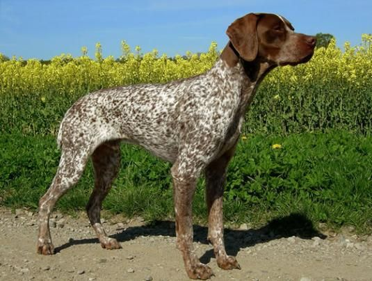 Brown Spotted Hunting Dog | Braque Francais Pictures ...