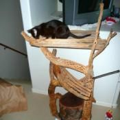 Here is a very simple outdoor cat tree.  While this doesn't sit outside it is made for outside (Our Havana Browns are strictly indoor cats).  The base is a cutoff piece of Mesquite stump.
