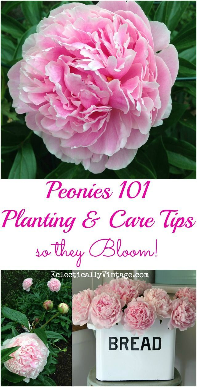 How to Plant Peonies - planting care and tips so your peonies give you tons of gorgeous flowers kellyelko.com