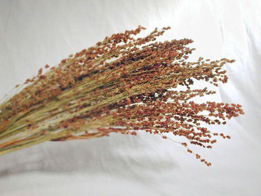 dried flowers - wholesale and retail / fresh flowers & seeds - wholesale Broom Corn