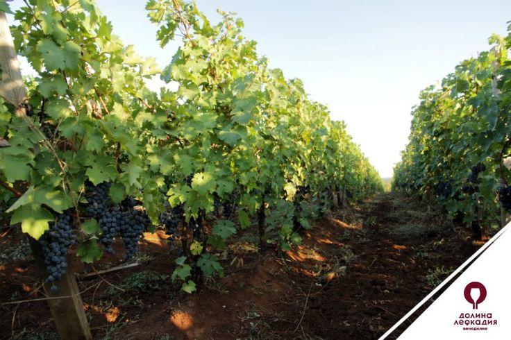 Некоторые сорта винограда в отдельных регионах достигли такого величия, что они были возведены в ранг «высшего сословия» среди мировых сортов. Поэтому их часто называют благородными сортами. Главные примеры — Каберне Совиньон из Бордо, Шардоне и Пино Нуар из Бургундии, французский Сира из долины Роны и его аналог Шираз из южной Австралии, Совиньон Блан из долины Луары, немецкий Рислинг. Кстати, все эти сорта прекрасно показывают себя на виноградниках долины Лефкадия.