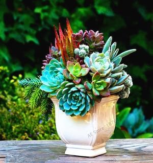 Mountainside Succulents – 203 Seeds