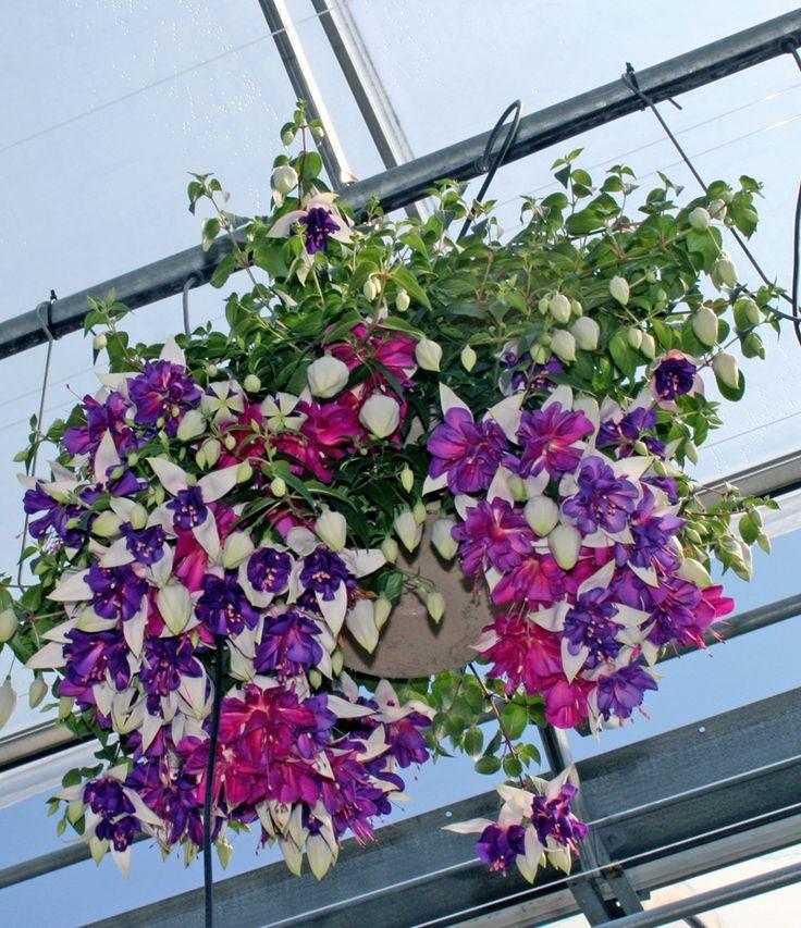 Best Hanging Basket Flowers For Hummingbirds : Best hummingbirds images on humming birds