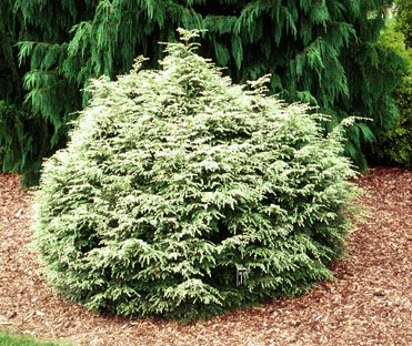 Tsuga canadensis `Gentsch White - A dwarf vareity of Canadian Hemlock. All new leaves are white on the tips. Makes a squatty dwarf that can take sun or shade - 10 Year Dimensions: 3 ft. X 3 ft.