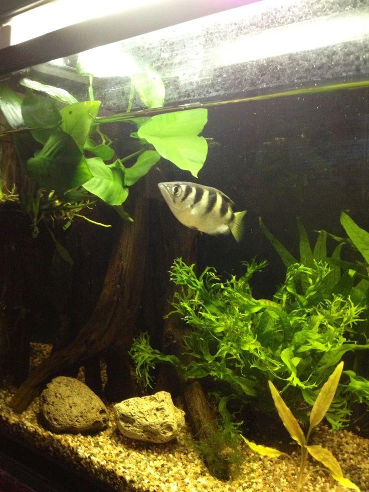 17 best images about aquarium on pinterest cichlids for Archer fish for sale