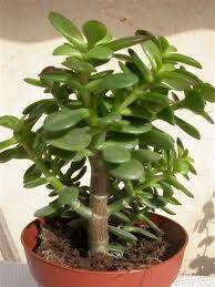 MIN MYSHÖRNA: Min mormor kallade denna blomma för penningträd!