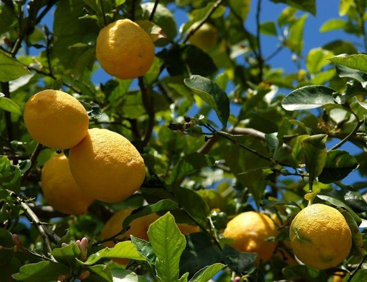 Verzorging van een Citroenboom.10 tips voor een gezonde Citroenboom