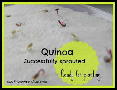 Can you grow quinoa plants from the seed in the grocery store? You need to grow about 10 plants to make one pound of quinoa seed, so I decided to experiment with the seed by