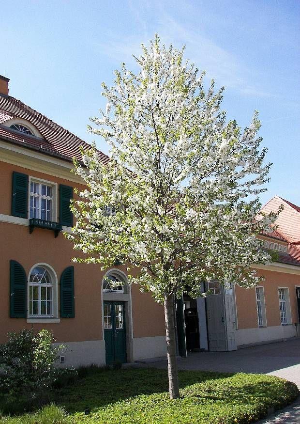 Prunus Avium  U0026 39 Plena U0026 39