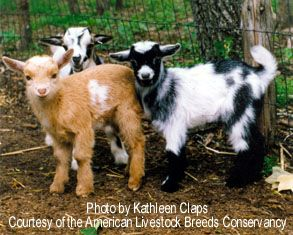 Nigerian Dwarf Goats. I LOVE mine! They are the perfect size and temperament for children and are very easy keepers. American Livestock Breeds Conservancy.