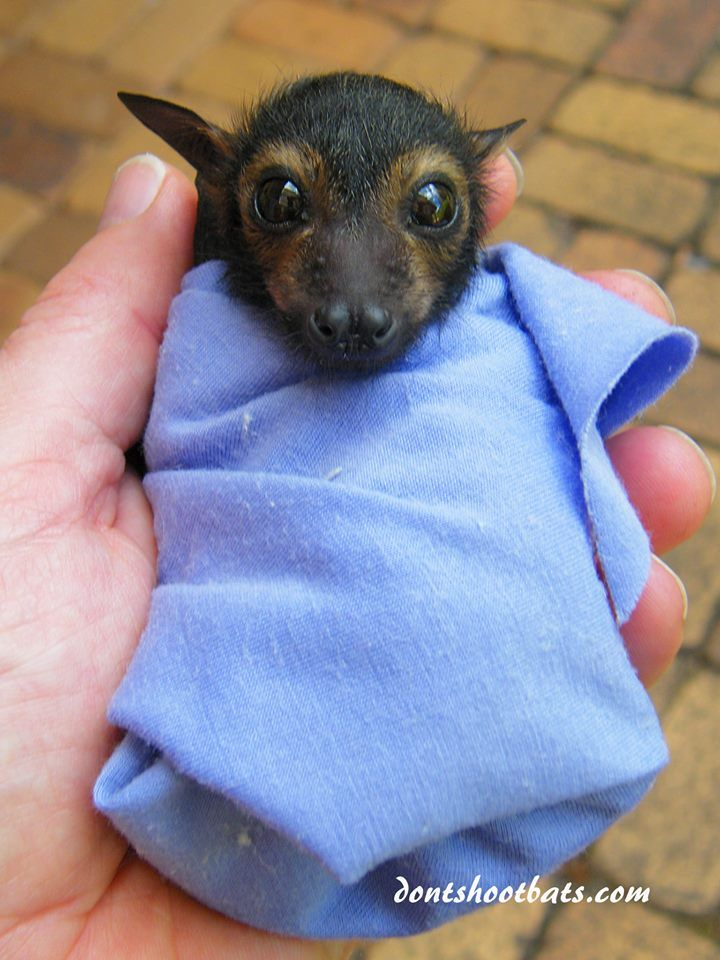 A rescued baby Spectacled Flying fox, at the Tolga Bat Hospital at Atherton Tablelands, Qld.