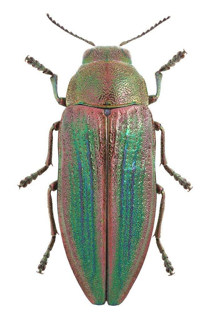 Buprestis splendens * Insetos, Escaravelho e Besouro