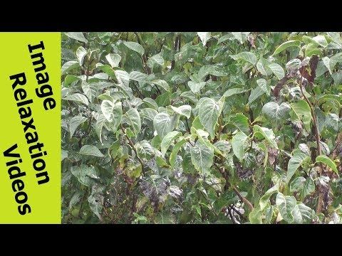 Heavy Rain On Leaves – Heavy Rain Noise – Relaxing Music & Nature Sounds