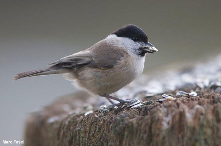 Photographie de Marc Fasol : Mésange nonnette ((Poecile palustris) photographiée avec un Nikon D4S + 400 mm f/2.8 VR depuis une cabane photographique installée dans un jardin près de Bruxelles (Belgique) #ornithologie #oiseaux #nature #cabane