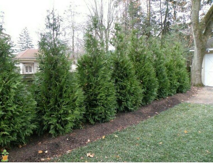 die besten 25 green giant tree ideen auf pinterest gr ne rie en lebensb ume schnell. Black Bedroom Furniture Sets. Home Design Ideas