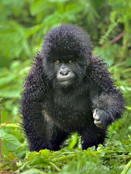 Bebê gorila de montanha com pelo molhado pela chuva....   Um fofo!