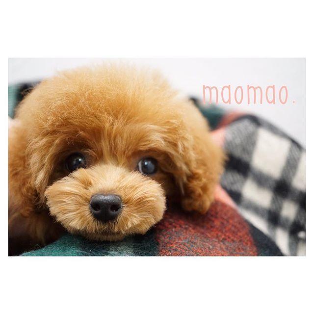 急ぎでパピーっぽくカット✂︎❤️💦 今度はちゃんとマズルカットするね🙏💦 ・ ・ ・ #犬#いぬ#愛犬#多頭飼い#犬好き #犬好きさんと繋がりたい  #プードル#ティーカッププードル #トイプードル#タイニープードル  #といぷー#といぷーどる #パピー#パピー犬#仔犬 #トリミングサロン #可愛い#癒し #poodle#toypoodle#puppy #ブリーダー#プードルブリーダー #和歌山#和歌山ペットサロン #和歌山ブリーダー #和歌山トリミングサロン #maomao.