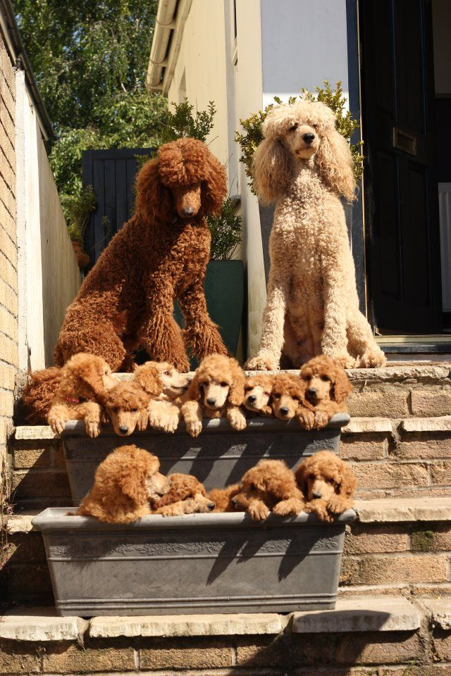 Red Poodle family. Daddy on left, daughters on the top step, sons on the lower. OMG