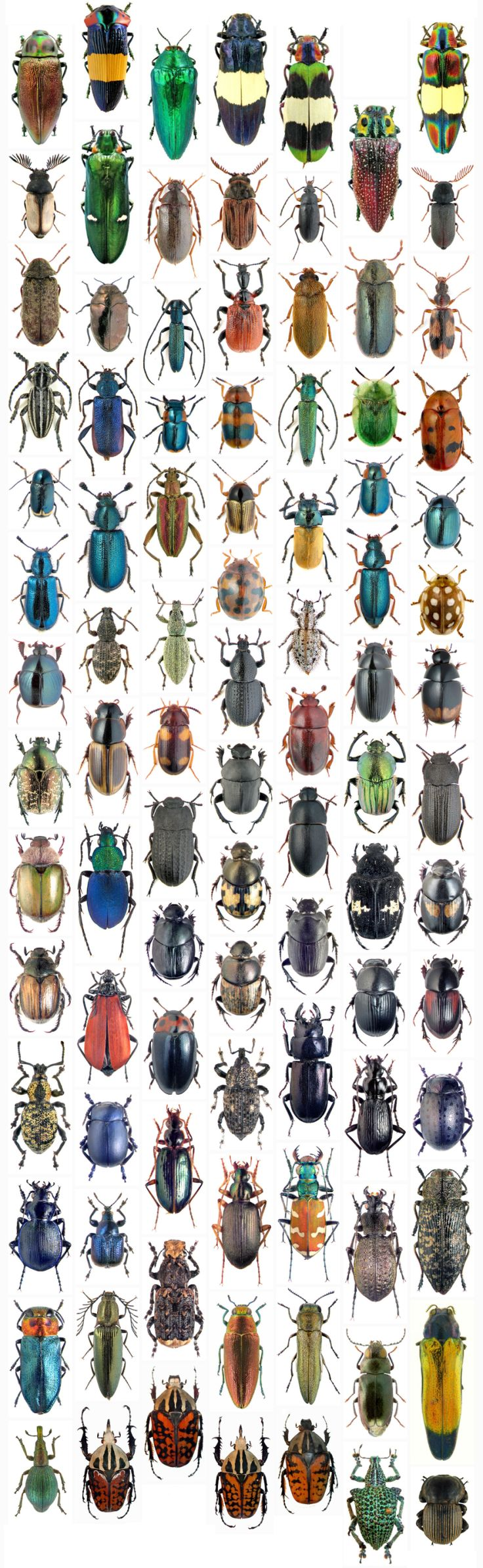 """The Creator, if He exists, has ""an inordinate fondness for beetles"". - J.B.S. Haldane; Evolutionary Biologist"