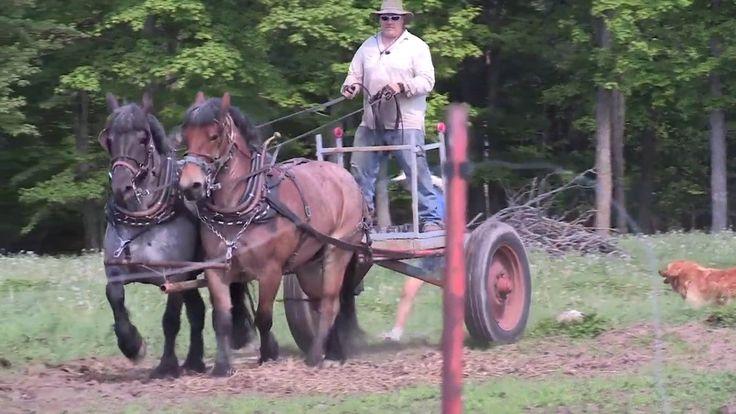 Brabant Belgian Draft Horse Power on the Julian Family Dairy Farm