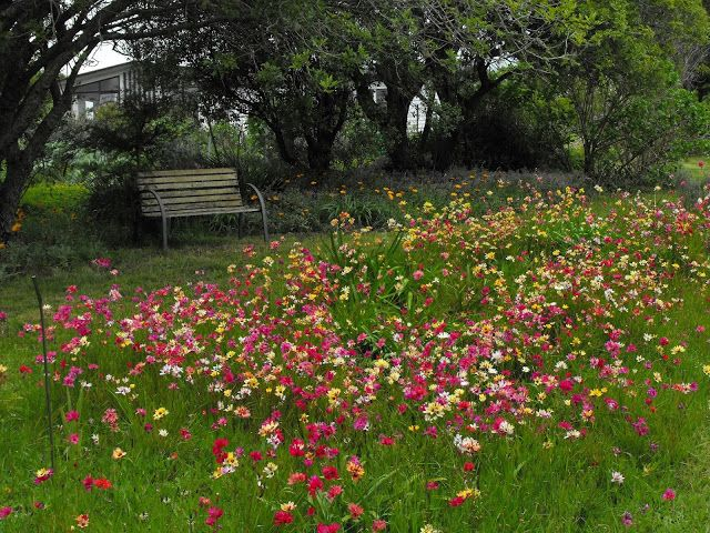 View of naturalised Ixia flowers in wild flower garden