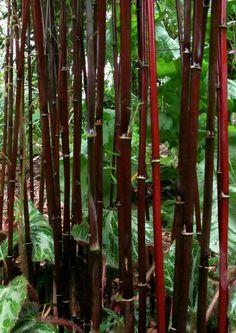 Fargesia sp. jiuzhaigou 'Deep Purple' Krachtige plant met stevige, redelijk rechtop groeiende naar diep purper verkleurende halmen. Veelbelovend. Nieuwe generatie!  Hoogte  2-3 m.+ zon tot schaduw   winterhard tussen -20/-25°C