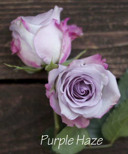Purple Haze, a lavender rose by http://www.harvestwholesale.com