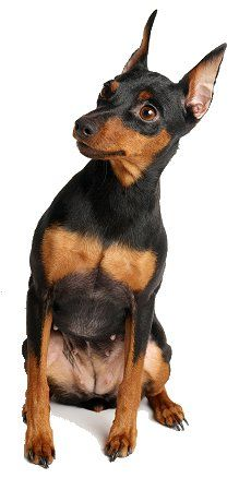 Miniature Pinscher dog breed training, I just love mine, he is wonderful and has been easy to train and while spunky he is so non aggressive in every situation.