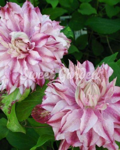 Klemátisz Patricia Ann Fretwell Pafar | Sweet Garden