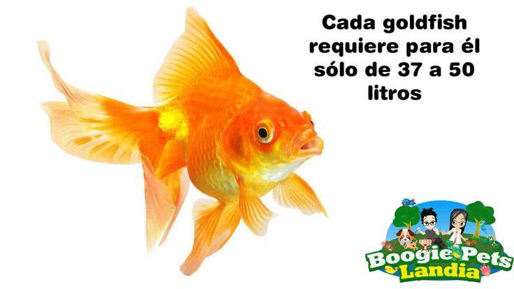 Un tanque de 10 galones (37.5 litros) puede servir durante varios años para sustentar la vida de un solo pez dorado adulto. Un tanque de 20 galones (75 litros) puede sustentar la vida dos peces dorados adultos. Un tanque de 30 galones (112.5 litros) puede sustentar la vida de hasta tres peces dorados adultos. Un tanque de 40 galones (150 litros) puede sustentar la vida de cuatro peces dorados adultos.