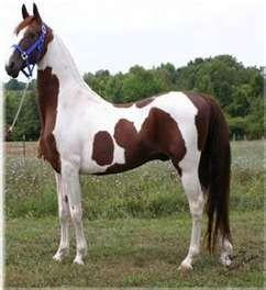American Saddlebred | american saddlebred | Saddlebreds