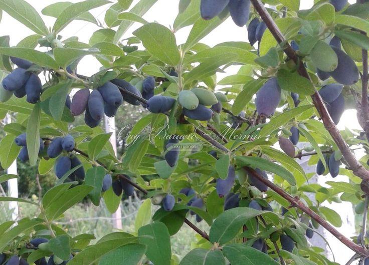 Nyhet! Lonicera caerulea var. kamtjatica 'Jugana'. Ca 1,5 m hög och nästan 2 m bred. Blå ätliga bär.