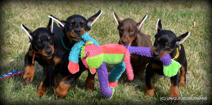 Unique Doberman Pinscher Personal Protection Family Guard Dogs For Sale