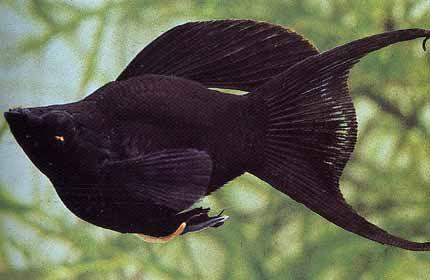 Peces exoticos de agua dulce para pecera peces de todas for Peces para pecera