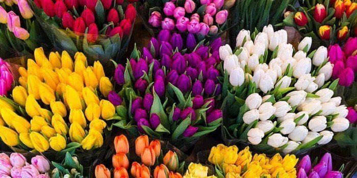 Tulpen  schöne Frühlingsblumen  Farbenmeer  weiß  gelb- orange- rosa- rot - lila