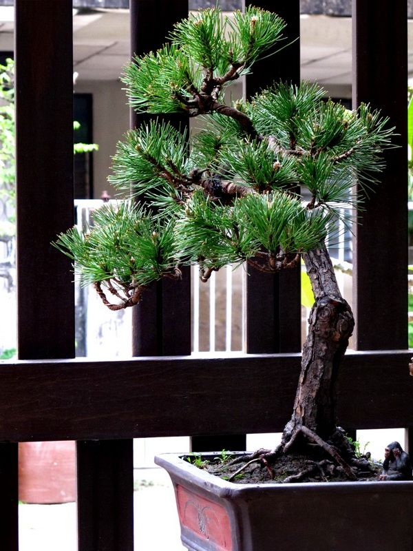 90 best literati bonsai images on pinterest bonsai art for Literati bonsai gallery