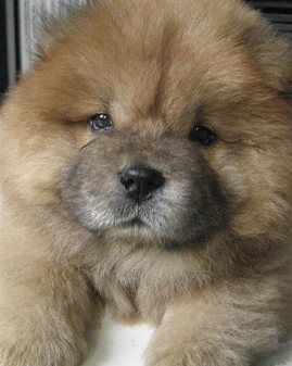 Chow puppies have to be in the top 5 cutest puppies, IMO.