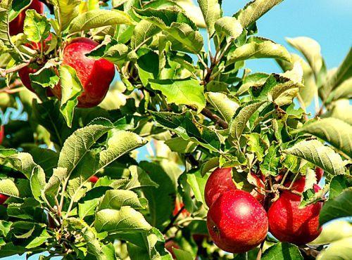 Dupa cum probabil stii, merele sunt de departe unul dintre cele mai sanatoase alimente de pe pamant, avand capacitati remarcabile asupra sanatatii tale. Ca sa