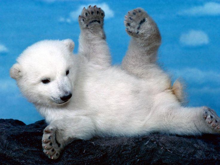 Animales Oso Polar  Fondo de Pantalla