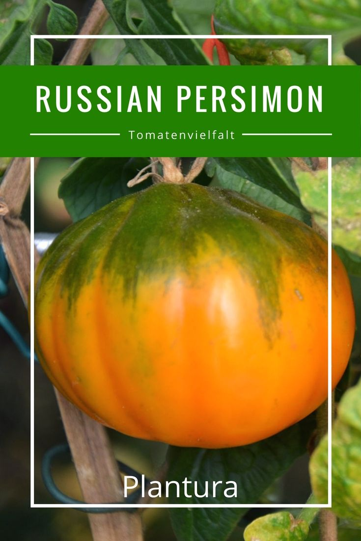 Die Sorte Russian Persimon trägt flachrunde Früchte mit anschaulicher Größe. In der Vollreife färben sich die Tomaten gelb-orange.