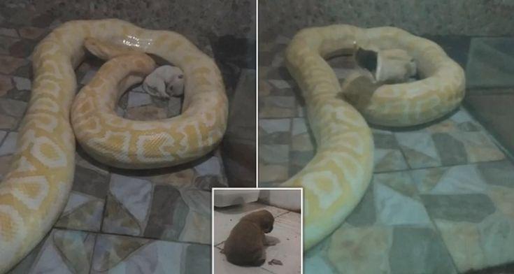 [INDIGNANTE]: Un trabajador de un zoológico alimenta con un pequeño cachorro vivo a una pitón hambrienta delante de los visitantes #piton #serpiente #serpientes #snake #cachorro #cachorros #animales #animal #mascotas #mascota #dog #dogs #noticias #noticia #schnauzi #china #zoo #zoologico #maltratoanimal