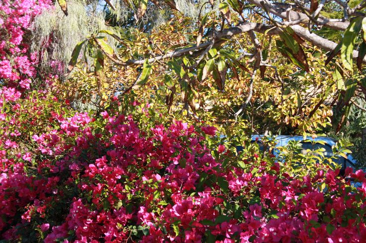 """Stretchy's"" front garden at Carnarvon in The Gascoyne.  Love the mix of bougainvillea and Mango leaves."
