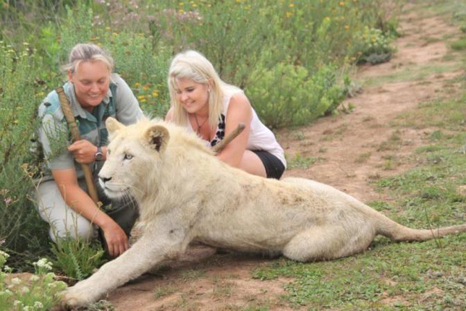 Прогулки с белыми львами в Zorgfontein, Южная Africaby Сантэл Knoetze/ с к…