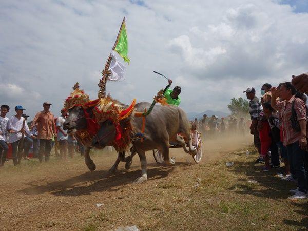 makepung bull race