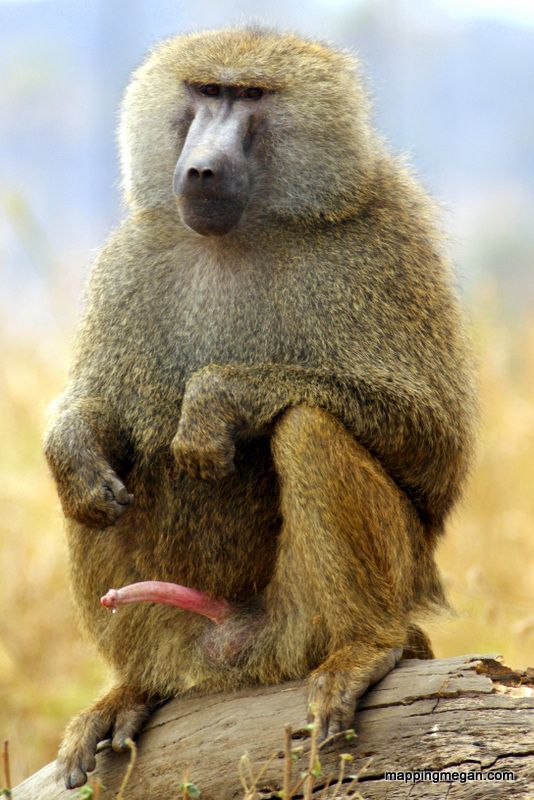 Baboon Facts - Funny Behaviour Photo..