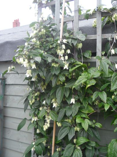 winter beauty clematis finally getting the garden done pinterest. Black Bedroom Furniture Sets. Home Design Ideas